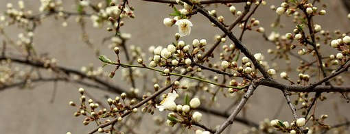 rügyező gyümölcsfa